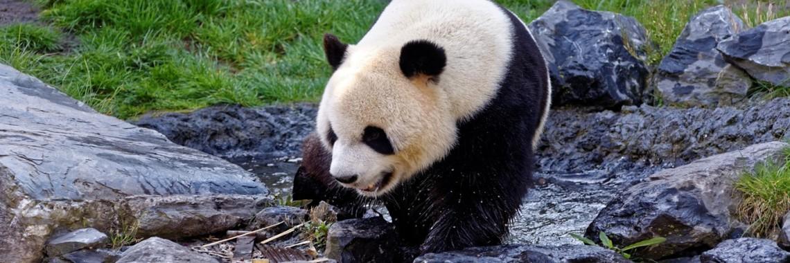Pairi Daiza – Pandas