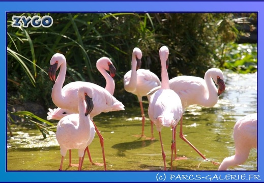Marineland - Flamants - 0872
