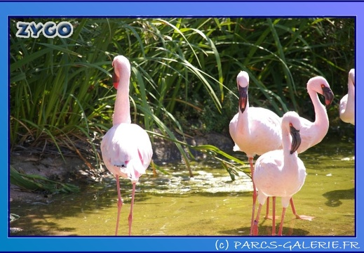 Marineland - Flamants - 0873