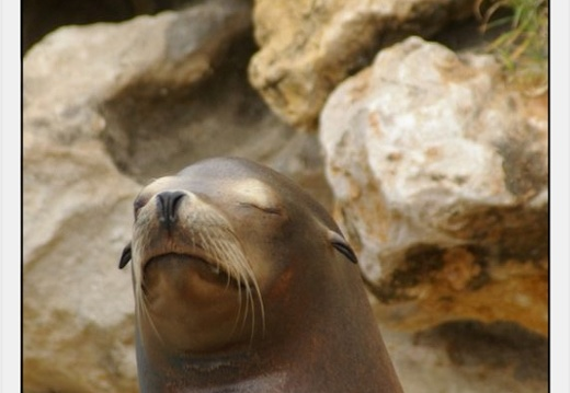 Marineland - Otaries- - Portraits - 4296