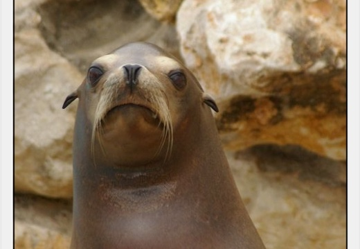 Marineland - Otaries- - Portraits - 4297